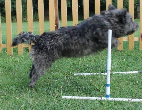 Dorrit agility jumping