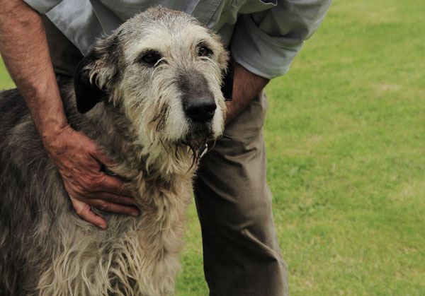 Pine Midnight - Irish Wolfhound
