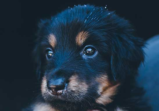 Black and Gold puppy