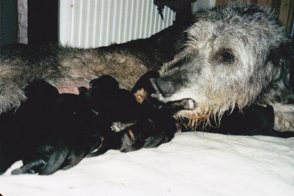 Midnight (Irish Wolfhound) feeding Hovawart pups